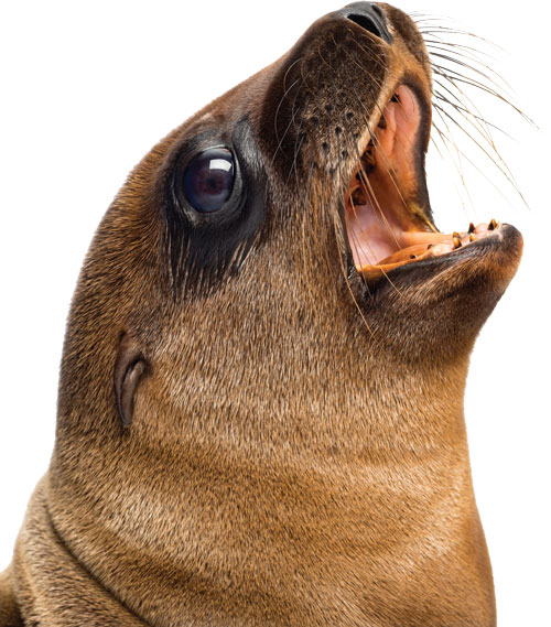 Sea Lion's unique barking sounds - YouTube